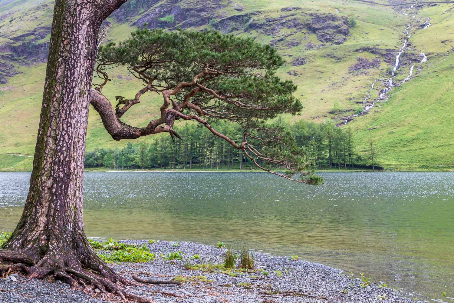 Buttermere pine and Comb Beck