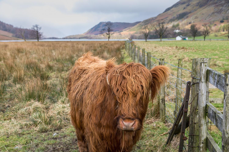 Highland cattle Buttermere