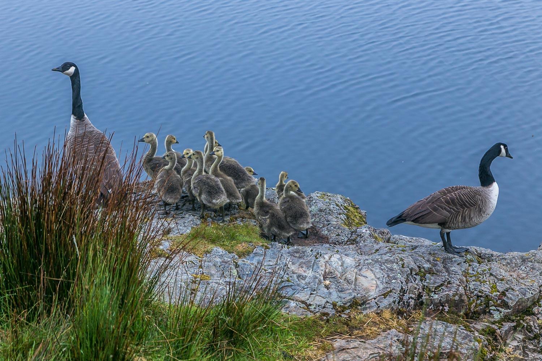 Crummock Water, canada geese