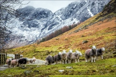 Herdwick sheep Buttermere