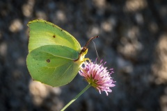 Brimstone butterfly Corfu