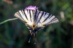 Scarce Swallowtail butterfly Corfu