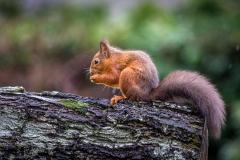 Cred squirrel