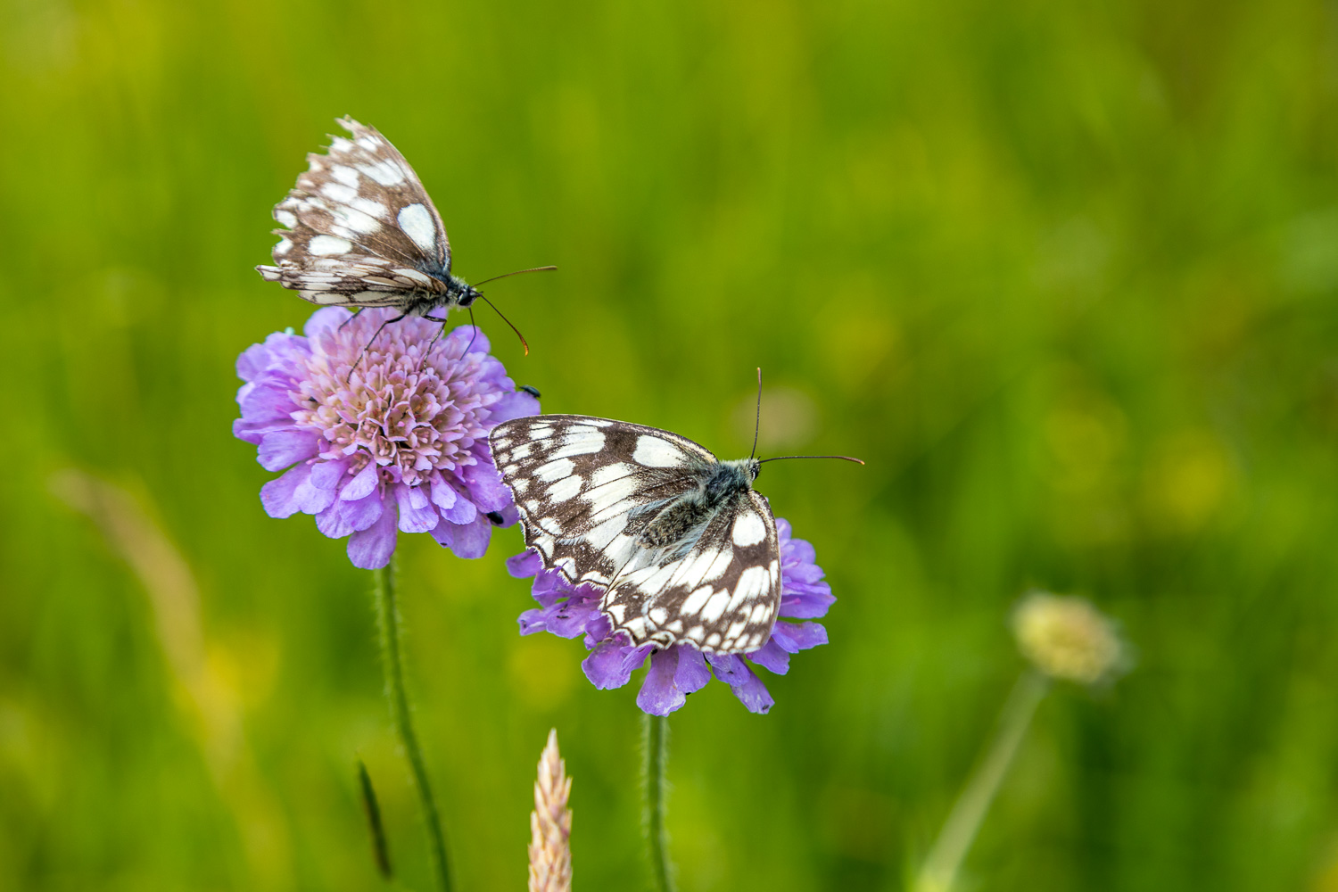 Chalkland Way, marbled white