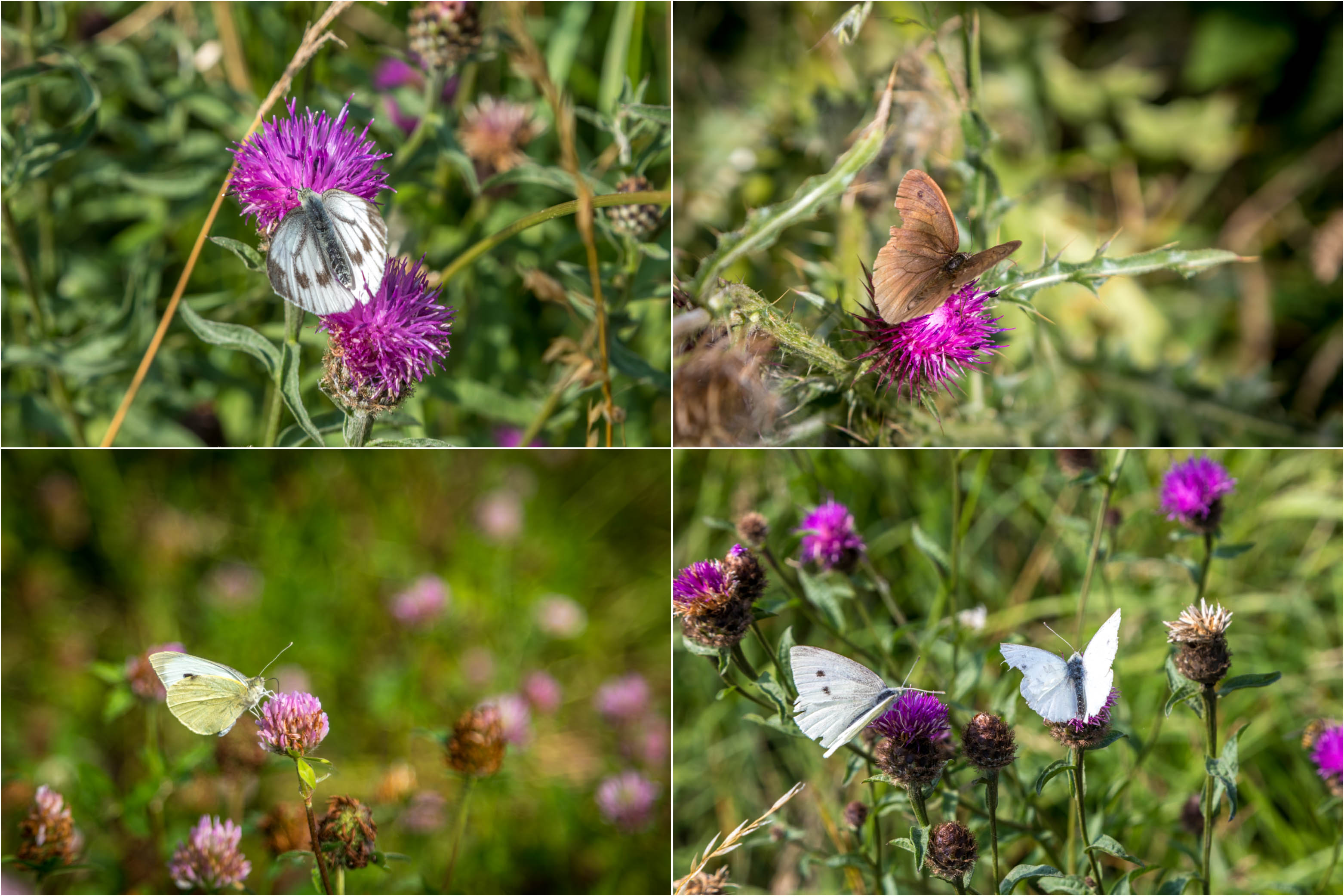 Chalkland Way butterflies