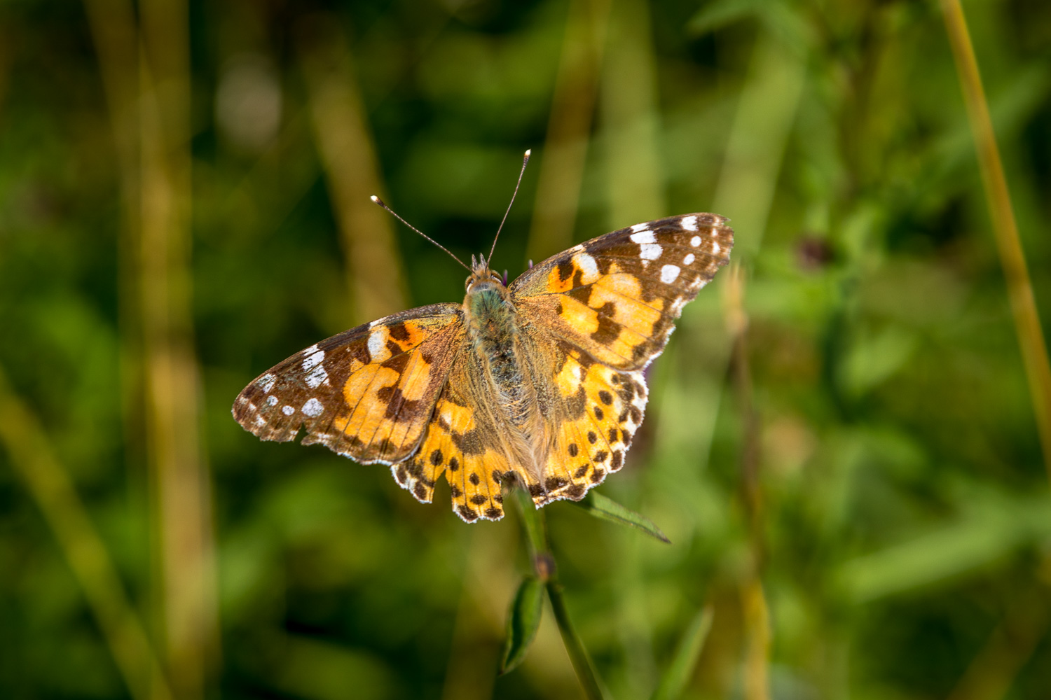 Chalkland Way, Painted Lady butterfly