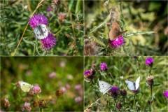 Chalkland Way butterflies