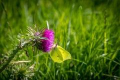 Chalkland Way, Brimstone butterfly