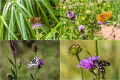 alpine flowers and insects