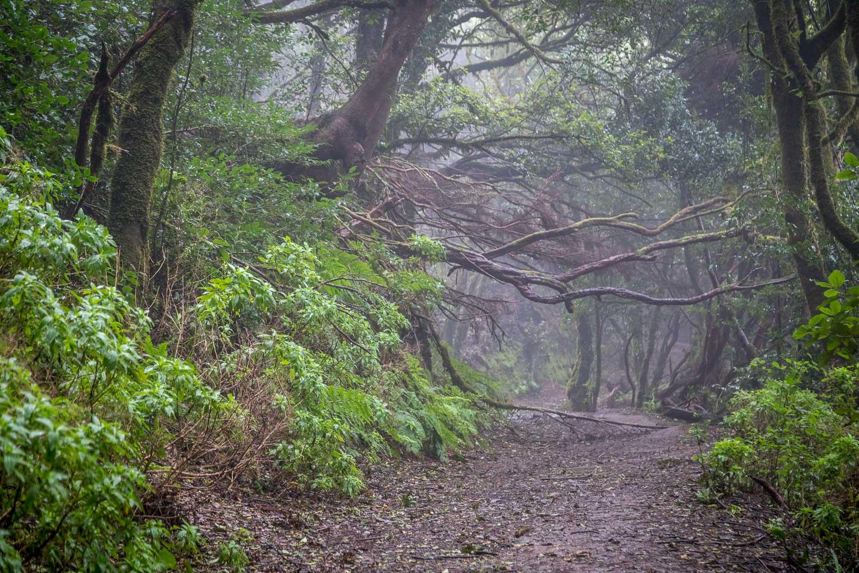 laurisilva forest Tenerife
