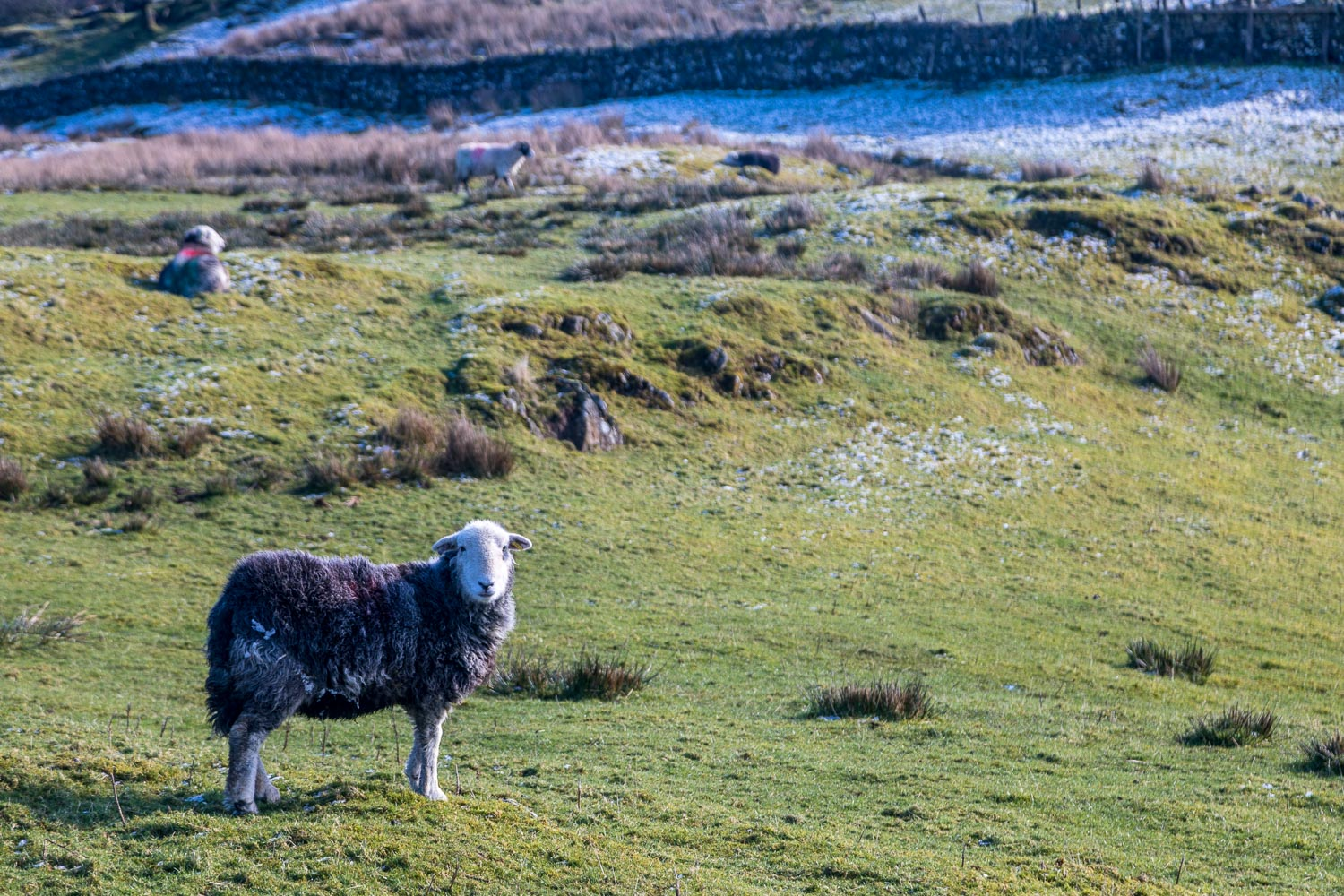 Claife Heights herdwick