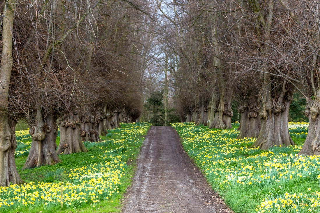 Constable Burton Hall  daffodil field