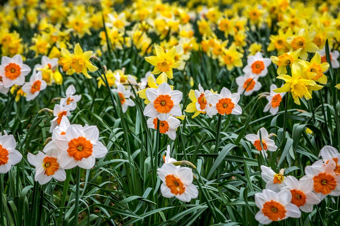 Constable Burton Hall  daffodil field