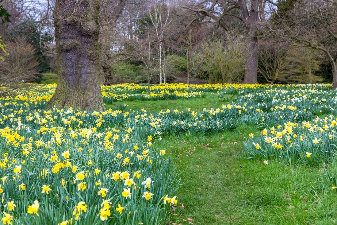 Constable Burton Hall  daffodils