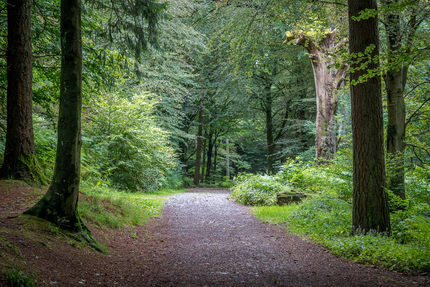 Path through Lanthwaite Wood