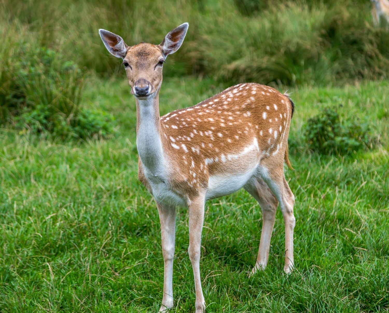 Dalemain fallow deer