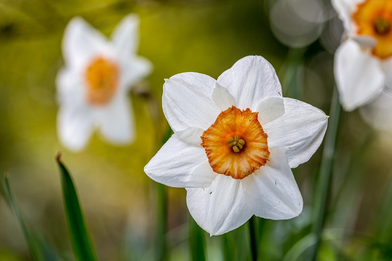 Dalemain Garden daffodil