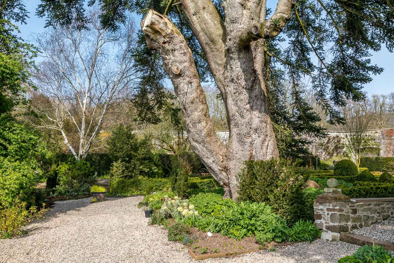 Dalemain Garden silver fir