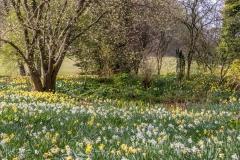 Dalemain Garden daffodils