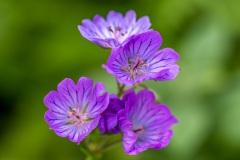 Dalemain garden geranium