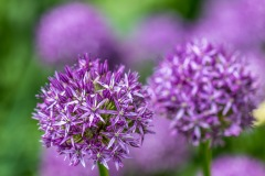 Dalemain garden allium