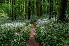 Dalemain to Dacre walk, Evening Bank Wood, wild garlic
