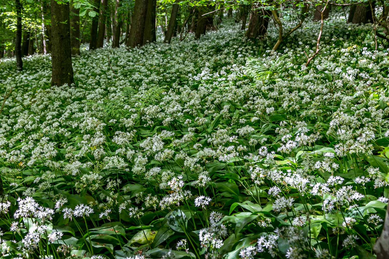 Dalemain to Dacre walk, Evening Bank Wood, wild garlic