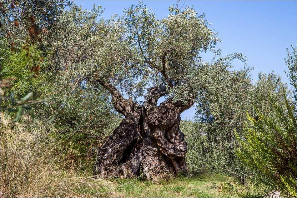 Ancient olive tree Mallorca
