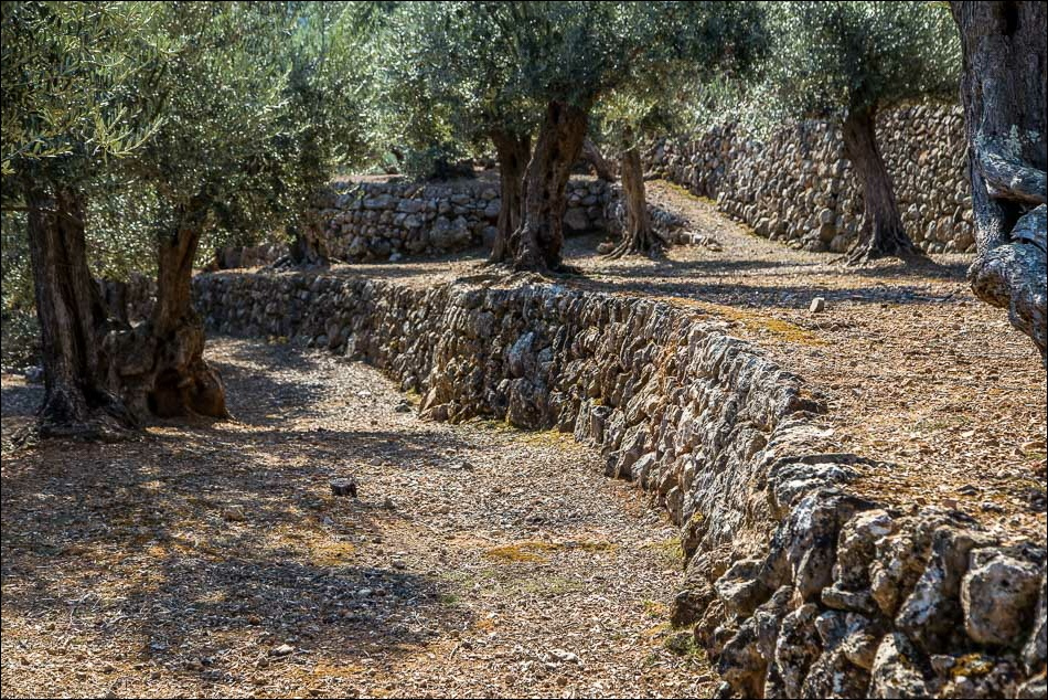 Olive groves Mallorca