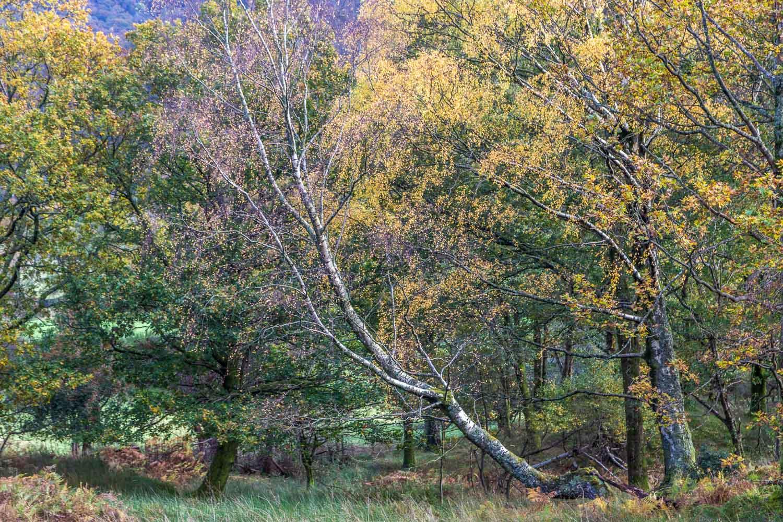 Borrowdale birches
