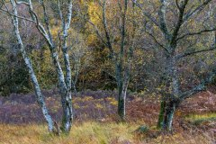 Manesty woodland, Borrowdale birches