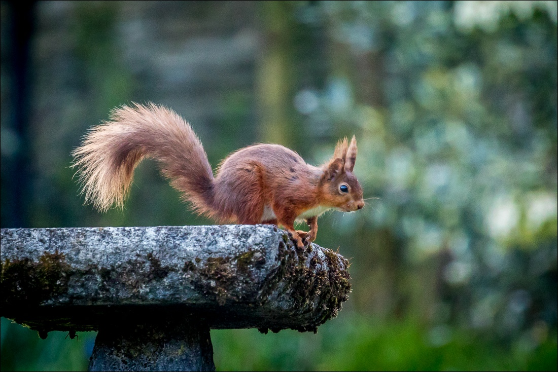 red squirrel on birdbath