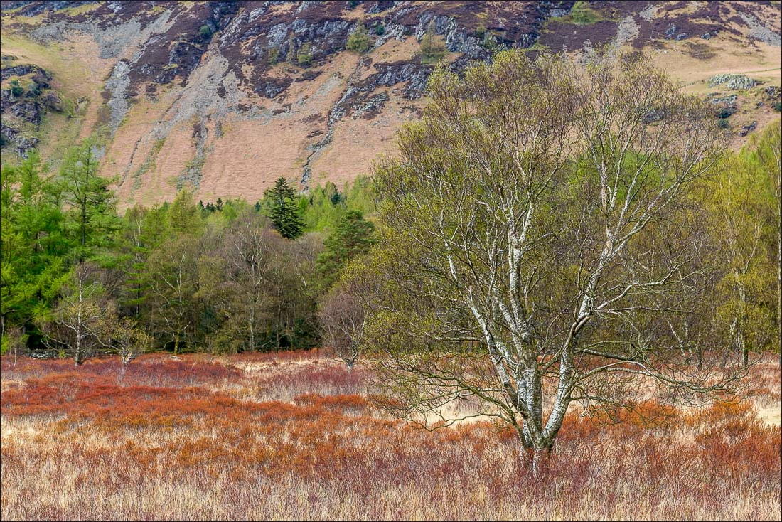Birch tree at the foot of Catbells