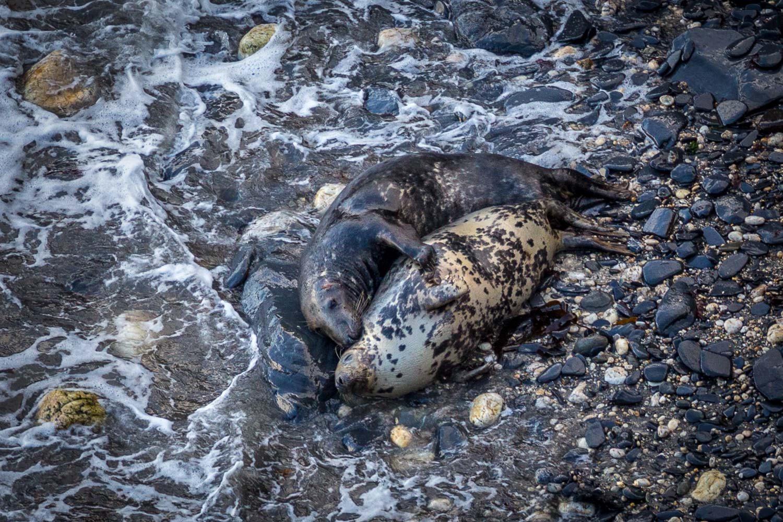 Dinas Island seal