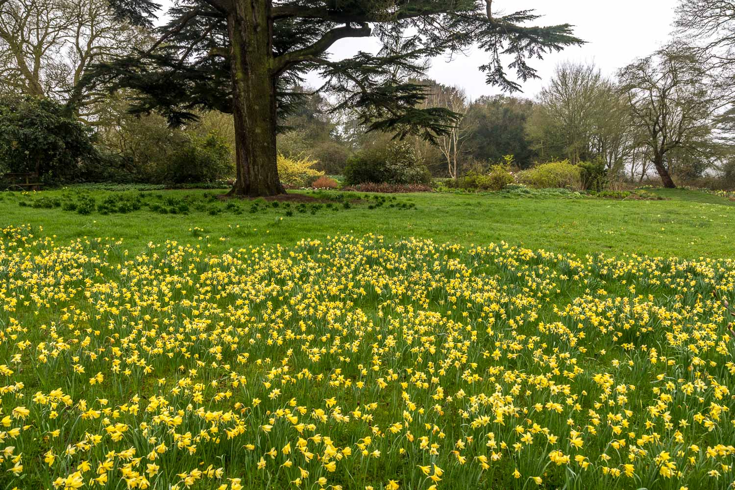 Doddington Hall daffodils