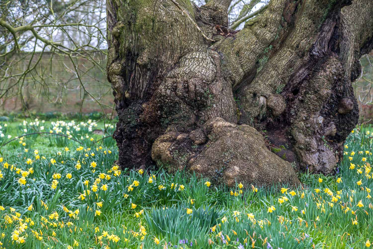 Doddington Hall sweet chestnut