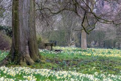 Doddington Hall daffodils