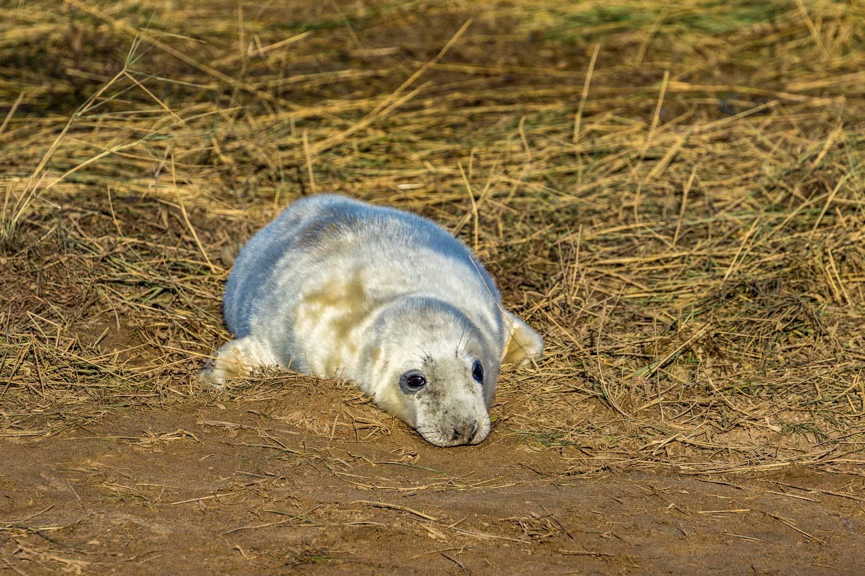 Donna Nook seal pup