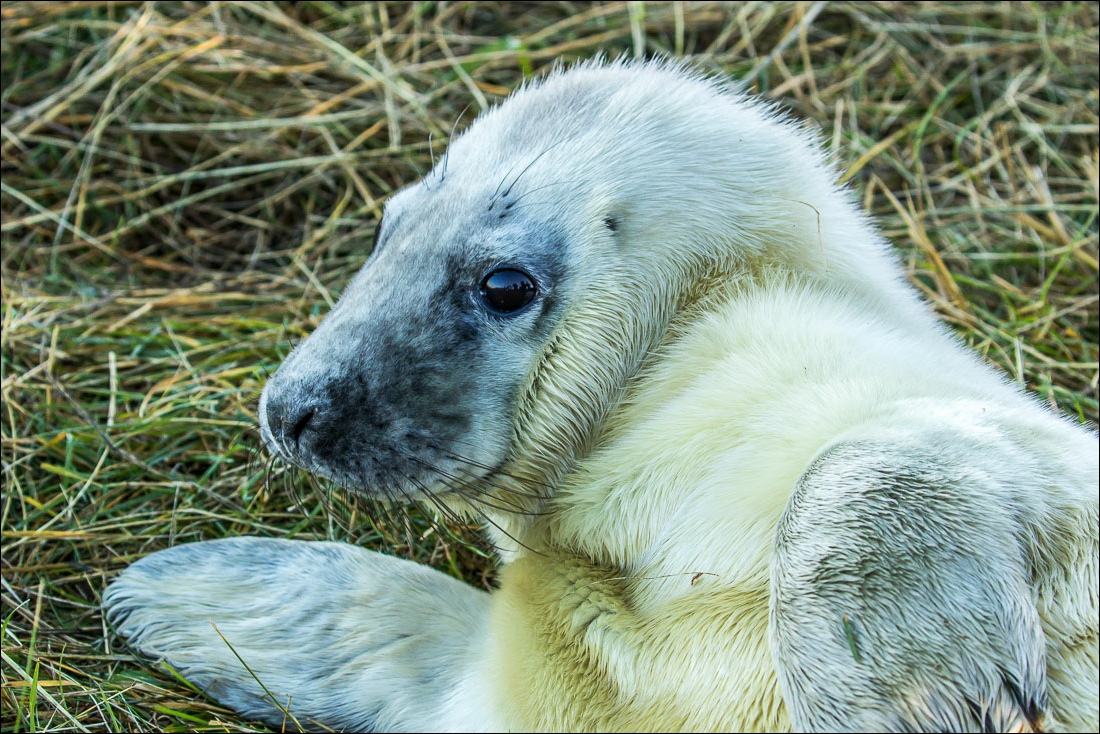Donna Nook, grey seals