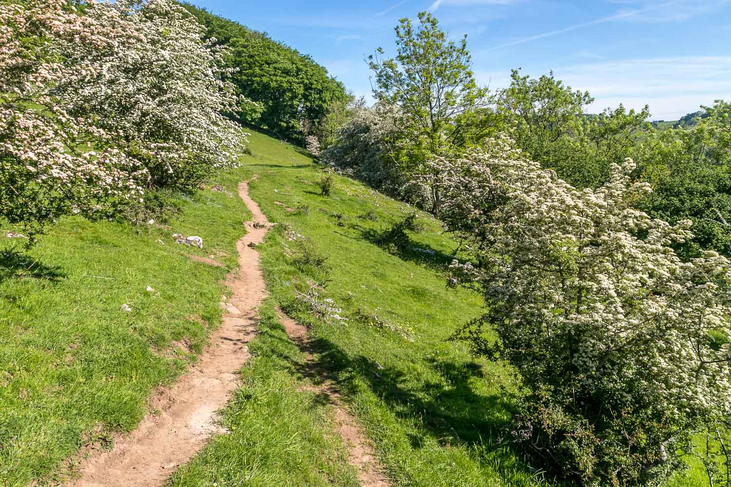 Dovedale Wood, hawthorn blossom