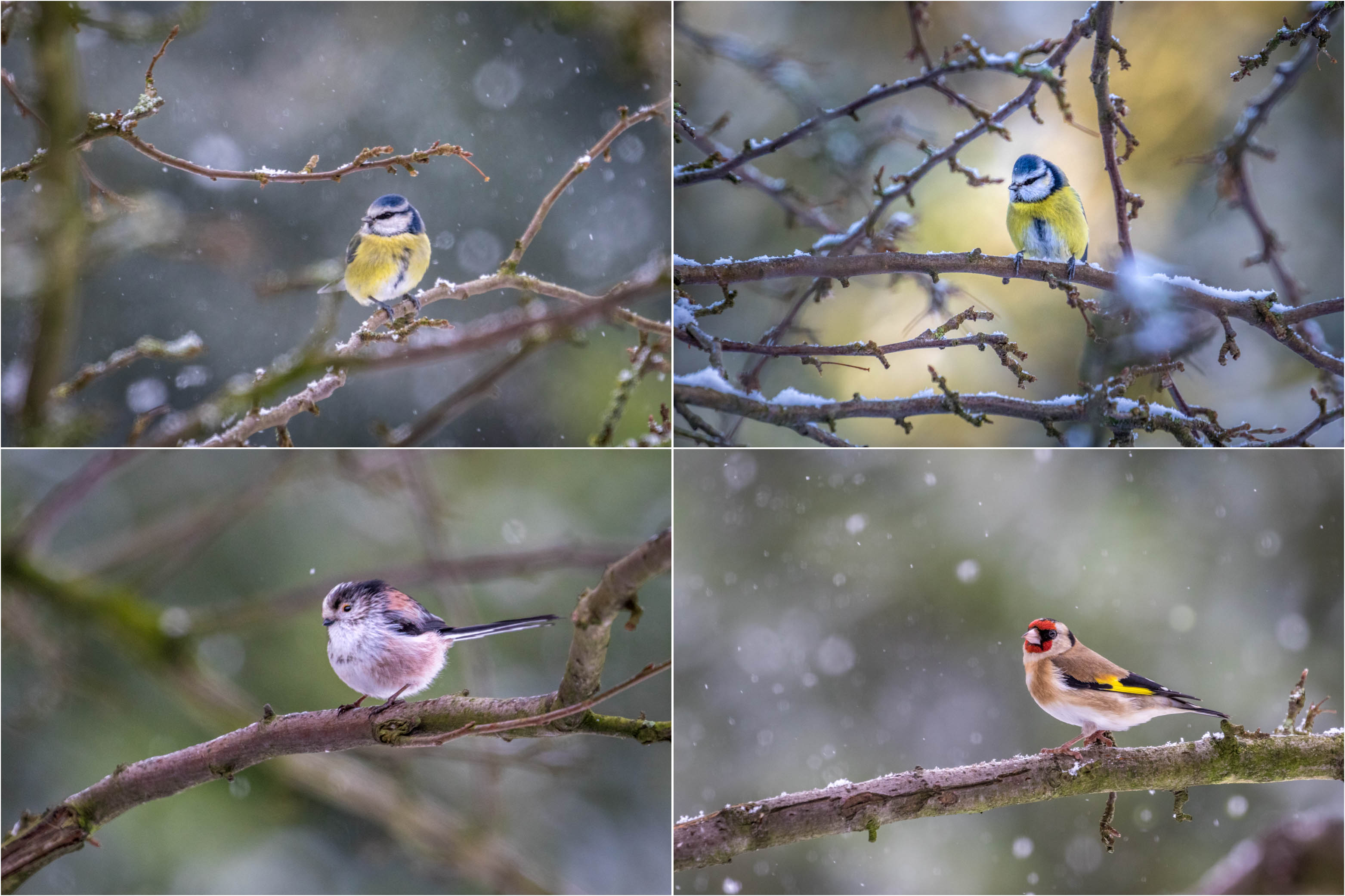 blue tit, long tailed tit, goldfinch