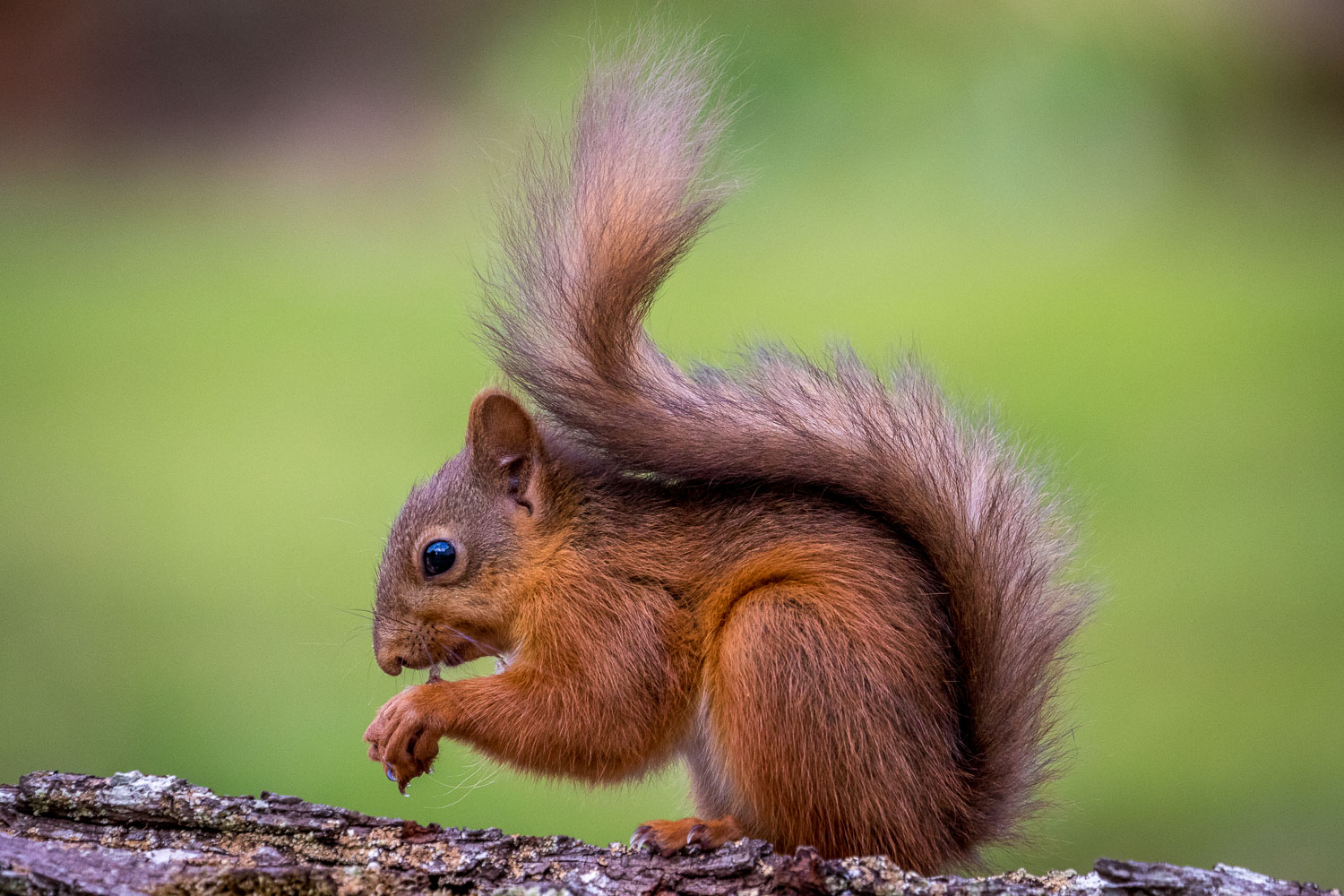 Baby red squirrel Lake District