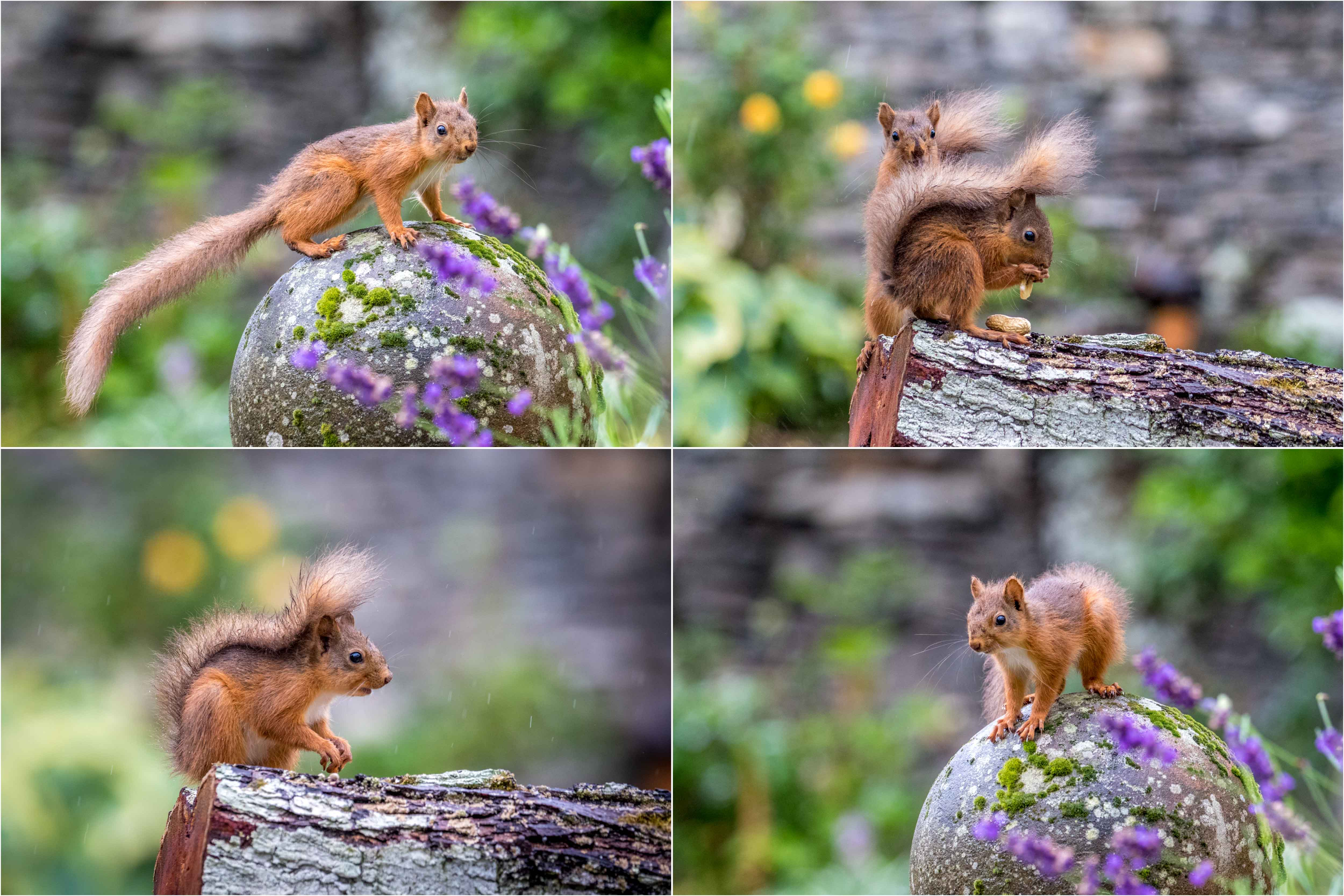 Lake District red squirrel