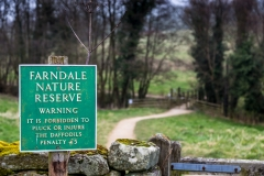 Farndale walk, Farndale daffodils