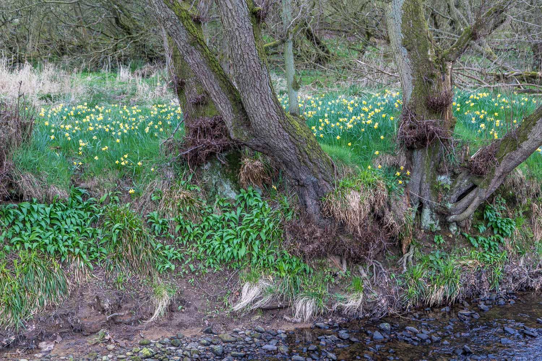 FFarndale daffodils