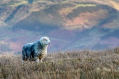 Fellbarrow herdwick