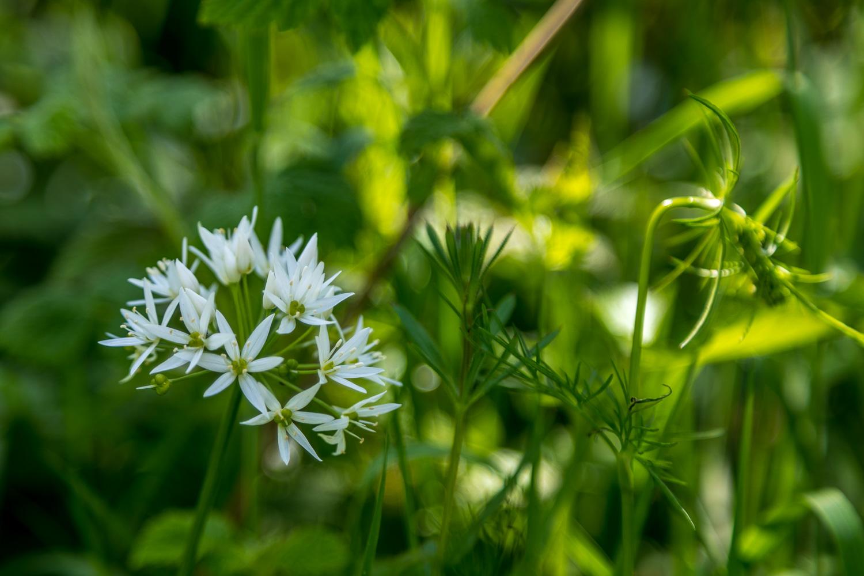 Wild garlic Eden Valley