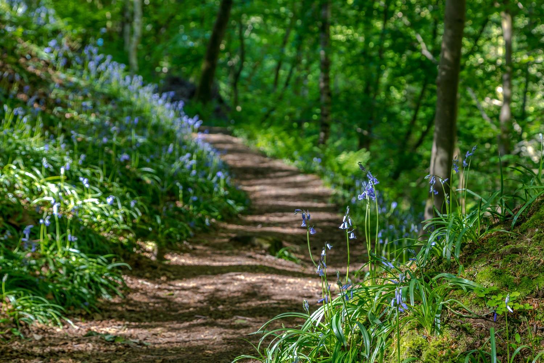 Bluebells, Eden Valley