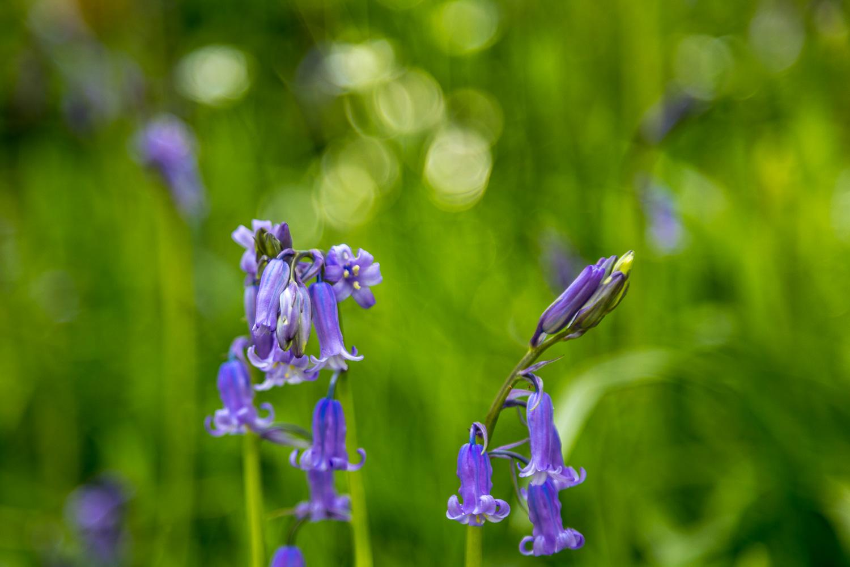 Dufton Ghyll Wood bluebells
