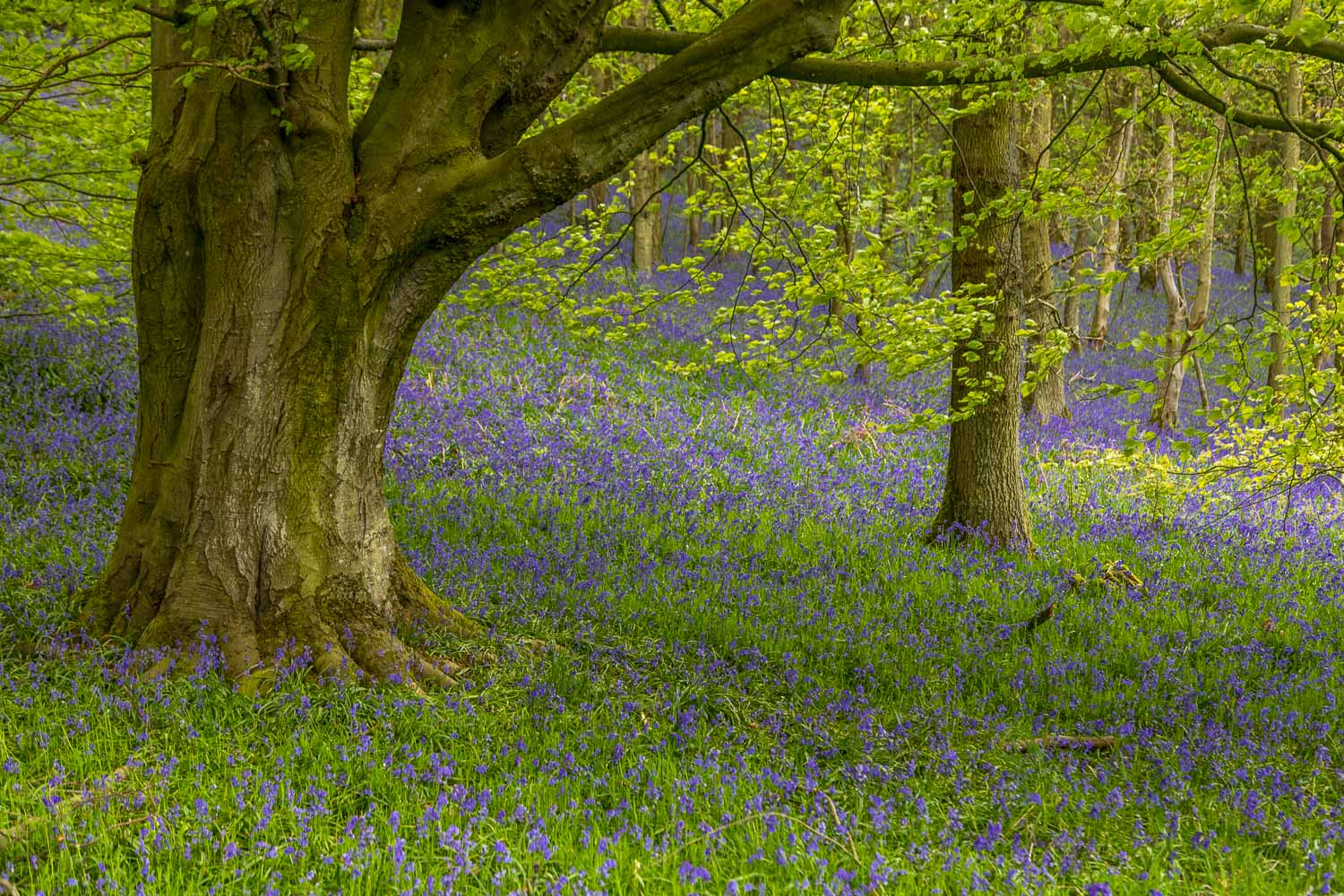 Flakebridge Wood bluebells